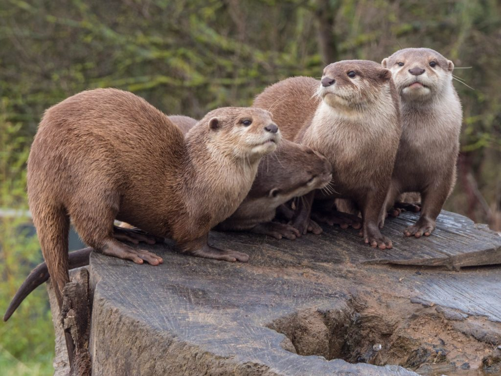 Otters at Northumberland Zoo